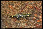 Title: The Fire Salamander